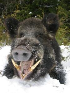 most-dangerous-game-wild-boar[1]
